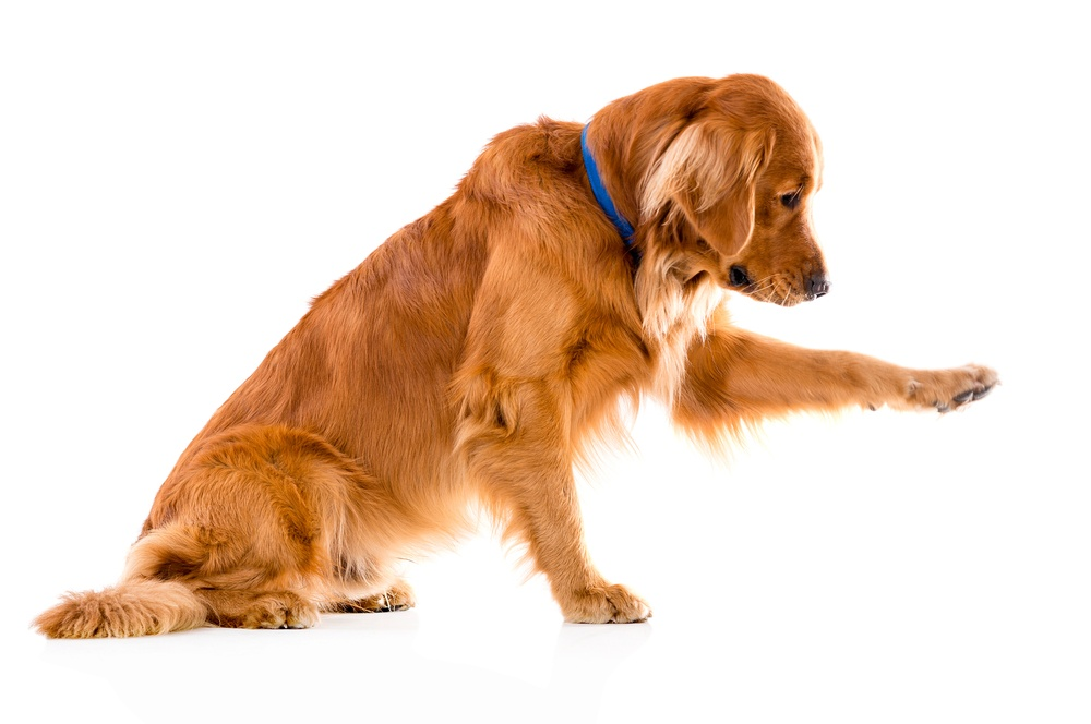 Cute dog giving his paw - isolated over a white background.jpeg